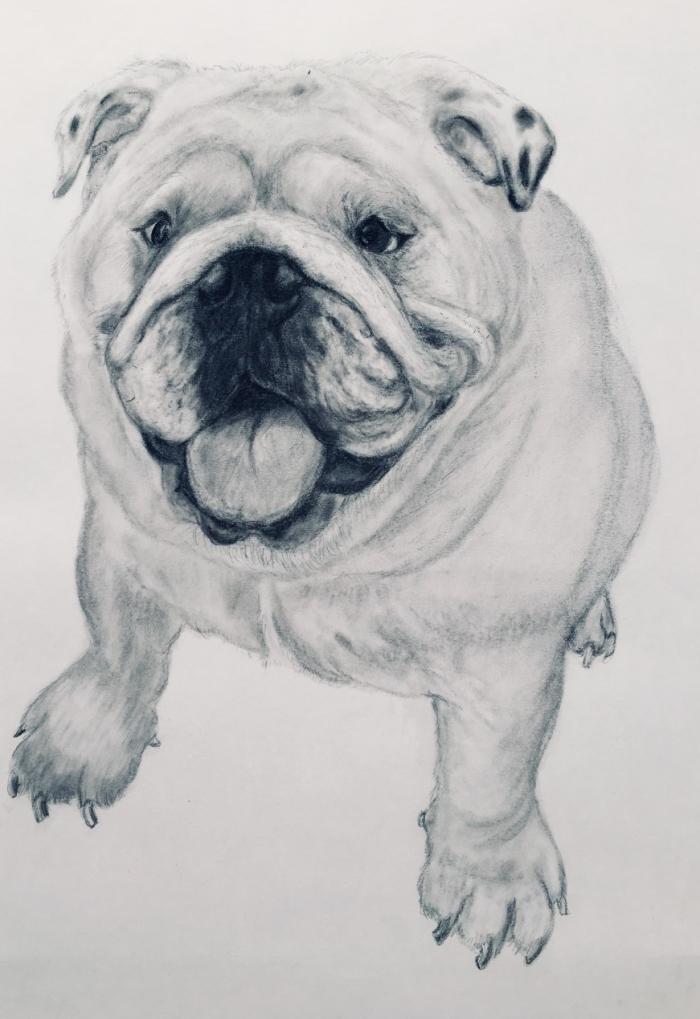 Puppy Bull Dog